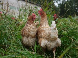 Hühner des Bioland-Hofs Niederwahrenbrock